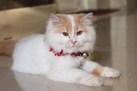 Bán mèo cảnh ở hà nội giá tốt.