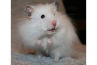 Hamster bear lông dài, xù.