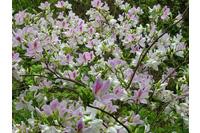 Bán cây hoa ban trắng Tây bắc.