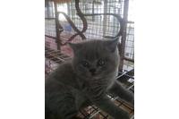 Bán mèo Anh lông thảm thuần chủng.
