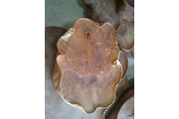 Bàn Uống trà gỗ Hương nguyên khối.