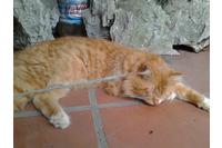 Mèo lai Anh - Việt.