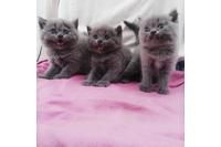 Bán mèo Anh lông thảm thuần chủng (3 cái).
