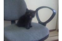 mèo ald đen.