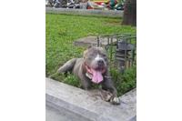 Cần bán đôi chó bully 15 tháng tuổi.