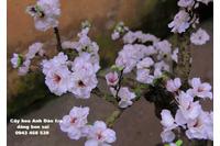 cây hoa anh đào giả, cây hoa anh đào lụa, lá đỏ, lá xanh, dây le.