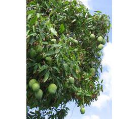 Cần bán một số cây ăn quả lâu năm, xoài, chay, vú sữa, và bộ cối giã gạo cổ