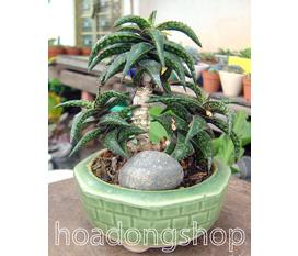 Cây Mộng Nước Các Lọai Succulents