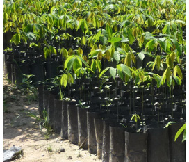Cung cấp stump cao su giống với chất lượng giống tốt và giá cả cạnh tranh