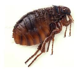 Thuốc trị nốt ngứa do bị bọ chét cắn