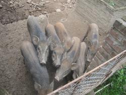 Ảnh số 14: lợn rừng - Giá: 199.999