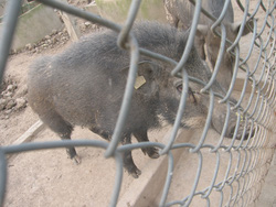 Ảnh số 30: lợn rừng - Giá: 199.999