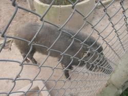 Ảnh số 33: lợn rừng - Giá: 199.999