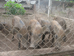 Ảnh số 35: lợn rừng - Giá: 199.999