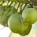 Dừa xiêm, Thạch dừa xiêm bán buôn bán lẻ tại HN
