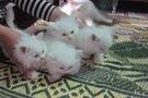 Bán mèo ALD trắng đẹp chuẩn.