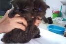 Bán mèo BA TƯ đen con.