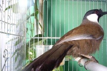 Bán chim long cơ, chim bảy màu, chim bạc má