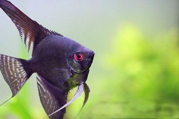 Cá Thần Tiên Đen