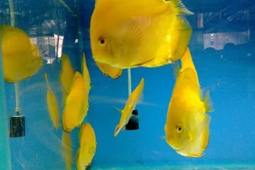 Cá Đĩa Vàng Chanh