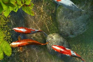 Bán đàn cá Koi Nhật Bản