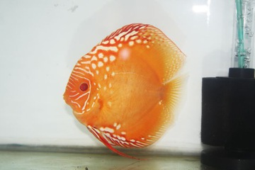 Cá đĩa đỏ Marlboro