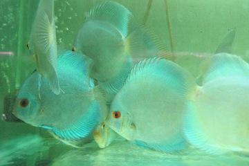 Cá đĩa Lam