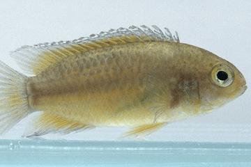 Cá Rô Mắt Vàng