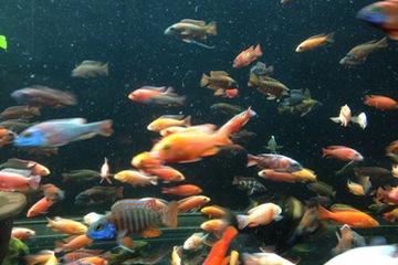Cá Ali Thái Lan