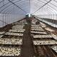 Nhà kính trồng nấm..400.000đ/m2.