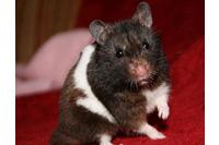 Hamster Bear khoang.