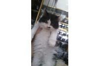 Mèo ALD cái, 2 tháng tuổi.