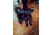Mèo Ba Tư lai Nga.