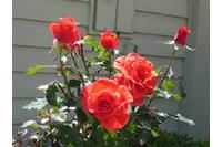 Hoa hồng các loại siêu đẹp.