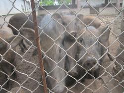 Ảnh số 13: lợn rừng - Giá: 199.999