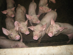 Ảnh số 26: lợn sạch - Giá: 199.999