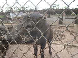 Ảnh số 31: lợn rừng - Giá: 199.999