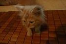 Mèo ba tư lai Nga giá rẻ.