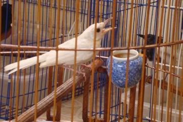 Bán chim chích chòe than trắng tại Tp HCM
