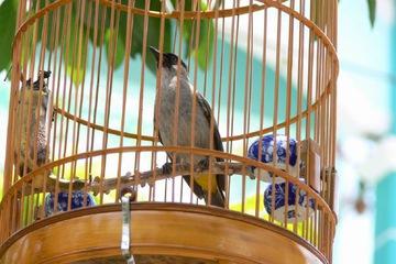 Bán chim quành quạch