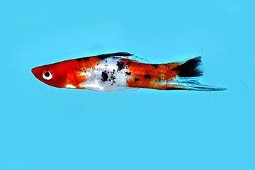 Cá Kiếm Koi