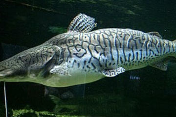 Cá Vịt Hoa